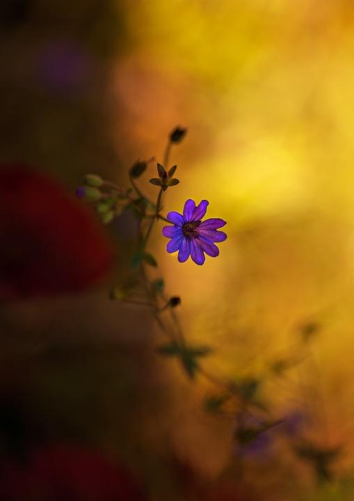 Den lilla lila